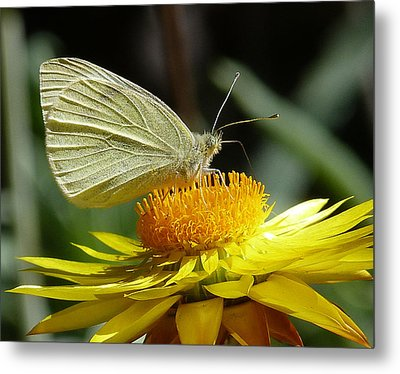 Cabbage White On Yellow Daisy Metal Print by Margaret Saheed