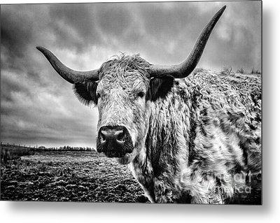Cadzow White Cow Metal Print by John Farnan