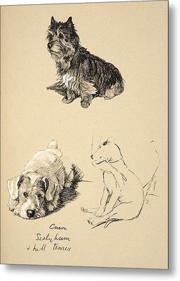 Cairn, Sealyham And Bull Terrier, 1930 Metal Print by Cecil Charles Windsor Aldin