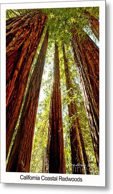 California Coastal Redwoods Metal Print by Artist and Photographer Laura Wrede