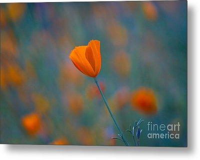 California Poppy Metal Print by Anthony Bonafede