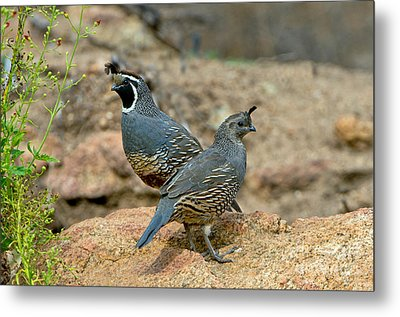 California Quail Pair On Rock Metal Print by Anthony Mercieca