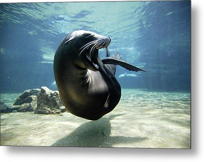 California Sea Lion Yawning Metal Print by Hiroya Minakuchi
