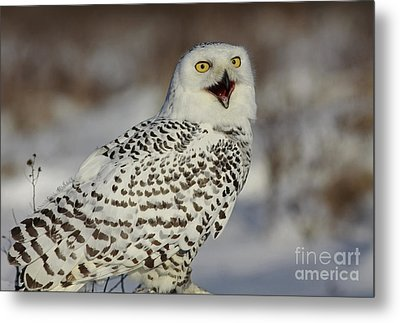 Call Of The North - Snowy Owl Metal Print by Inspired Nature Photography Fine Art Photography