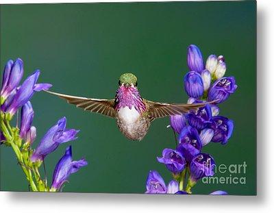Calliope Hummingbird Stellula Calliope Metal Print by Anthony Mercieca