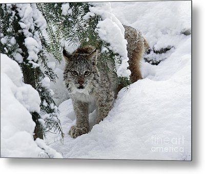 Canada Lynx Hiding In A Winter Pine Forest Metal Print by Inspired Nature Photography Fine Art Photography