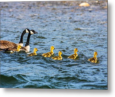 Canadian Geese And Goslings Metal Print by Omaste Witkowski
