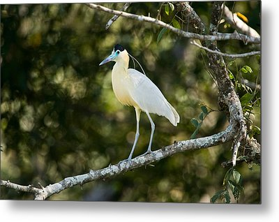 Capped Heron Pilherodius Pileatus Metal Print by Panoramic Images