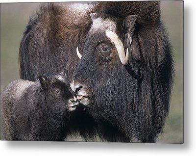 Captive Adult Female Musk Ox With Calf Metal Print by Doug Lindstrand