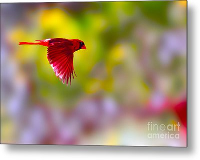 Cardinal In Flight Metal Print by Dan Friend