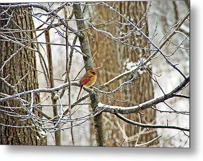 Cardinal In Winter Metal Print by Aimee L Maher Photography and Art Visit ALMGallerydotcom