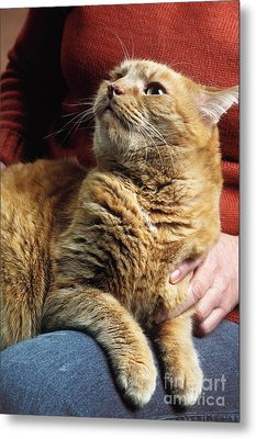 Cat On Lap Metal Print by James L. Amos