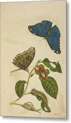 Caterpillar Feeding On A Leaf Metal Print by British Library