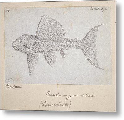 Catfish Metal Print by Natural History Museum, London