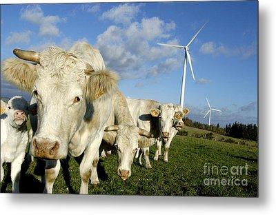 Cattle Metal Print by Bernard Jaubert