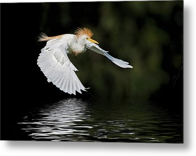 Cattle Egret In Flight Metal Print by Bonnie Barry