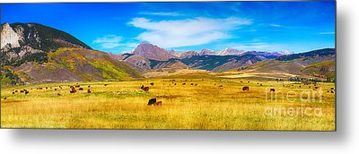 Cattle Grazing Autumn Panorama Metal Print by James BO  Insogna