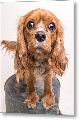 Cavalier King Charles Spaniel Puppy Metal Print by Edward Fielding