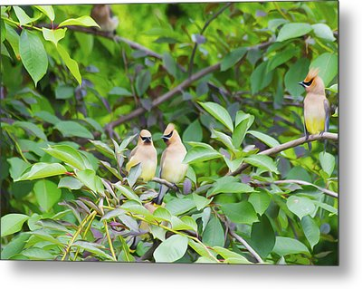 Cedar Waxwing Metal Print by Michel DesRoches