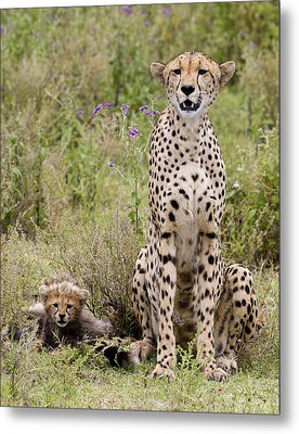 Cheetah  Acinonyx Jubatus Metal Print by Carol Gregory