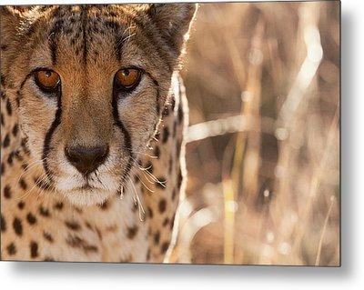 Cheetah Conservation Fund, Namibia Metal Print by Janet Muir