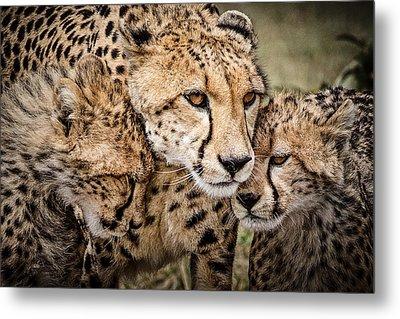 Cheetah Family Portrait Metal Print by Mike Gaudaur