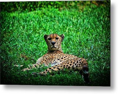 Cheetah Metal Print by Karol Livote