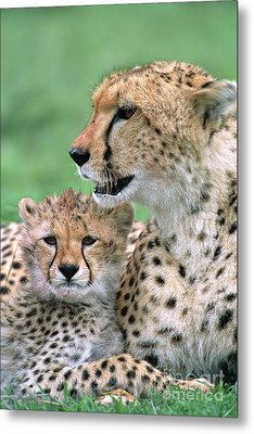 Cheetah Mother And Cub Masai Mara Metal Print by