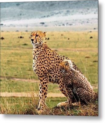 Cheetahs Metal Print by Babak Tafreshi