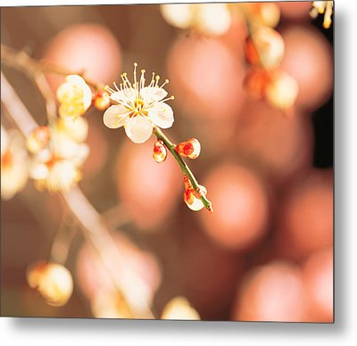 Cherry Blossom In Selective Focus Metal Print by Panoramic Images