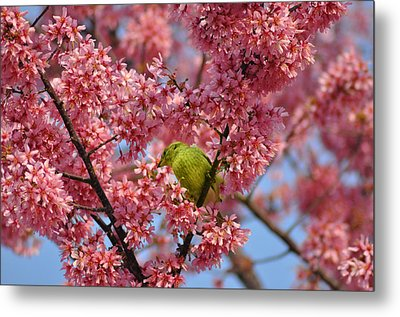 Cherry Blossom Time Metal Print by Bill Cannon