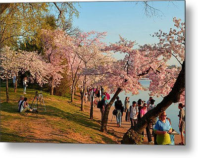 Cherry Blossoms 2013 - 007 Metal Print by Metro DC Photography