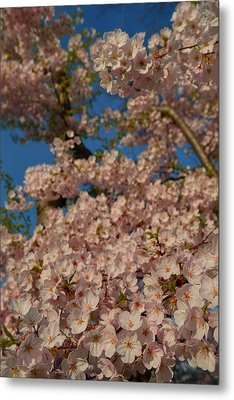 Cherry Blossoms 2013 - 034 Metal Print by Metro DC Photography
