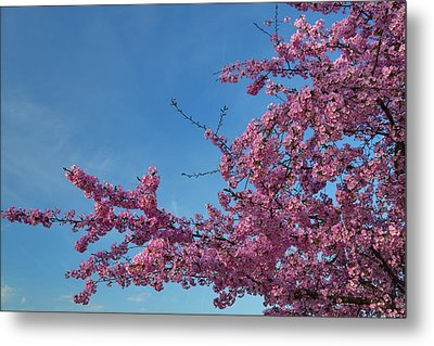 Cherry Blossoms 2013 - 037 Metal Print by Metro DC Photography