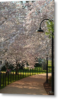 Cherry Blossoms 2013 - 060 Metal Print by Metro DC Photography