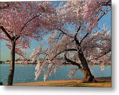 Cherry Blossoms 2013 - 063 Metal Print by Metro DC Photography