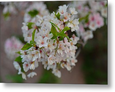 Cherry Blossoms 2013 - 068 Metal Print by Metro DC Photography