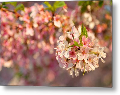 Cherry Blossoms 2013 - 072 Metal Print by Metro DC Photography
