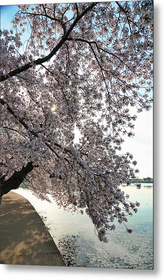 Cherry Blossoms 2013 - 092 Metal Print by Metro DC Photography