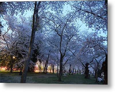 Cherry Blossoms 2013 - 100 Metal Print by Metro DC Photography