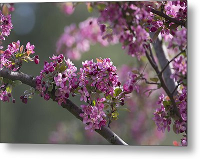 Cherry Blossoms Metal Print by Dale Kincaid