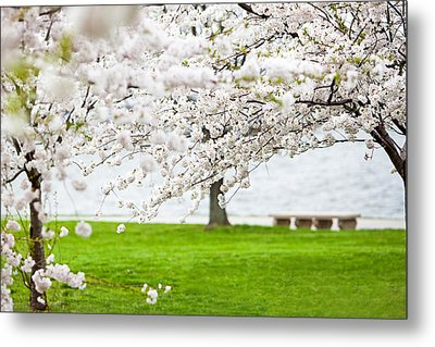 Cherry Blossoms On The Shore Of Fort Mchenry Metal Print by Susan  Schmitz