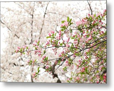 Cherry Blossoms - Washington Dc - 0113112 Metal Print by DC Photographer
