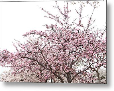 Cherry Blossoms - Washington Dc - 0113123 Metal Print by DC Photographer