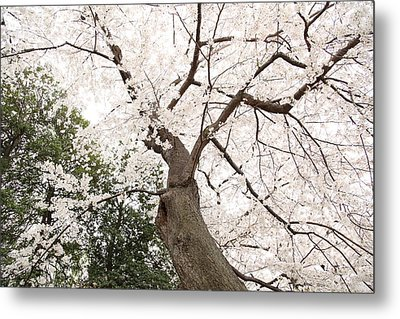 Cherry Blossoms - Washington Dc - 0113136 Metal Print by DC Photographer