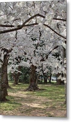 Cherry Blossoms - Washington Dc - 011382 Metal Print by DC Photographer