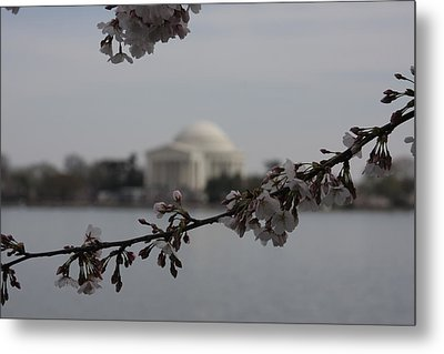 Cherry Blossoms With Jefferson Memorial - Washington Dc - 01134 Metal Print by DC Photographer