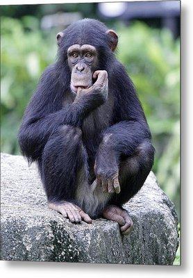 Chimp Sucking His Thumb Metal Print by Shoal Hollingsworth