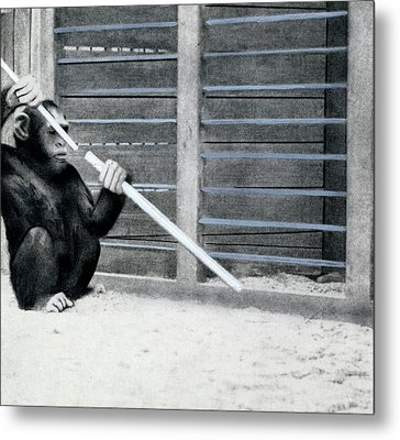 Chimpanzee Problem Solving Research Metal Print by American Philosophical Society