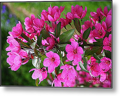 Chinese Apple Blossoms Metal Print by Dora Sofia Caputo Photographic Art and Design
